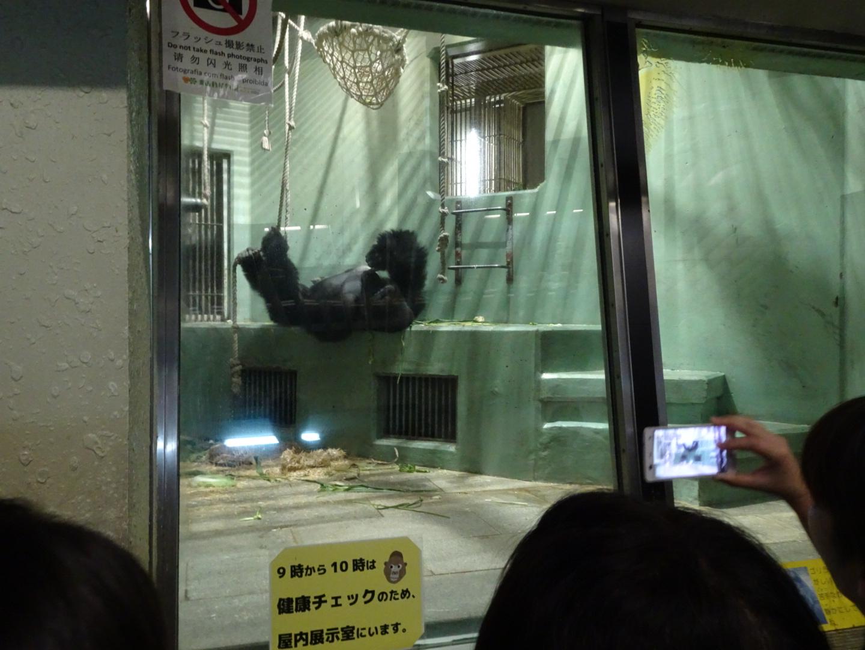 イケメン ゴリラ シャバーニ 名古屋 東山動物園