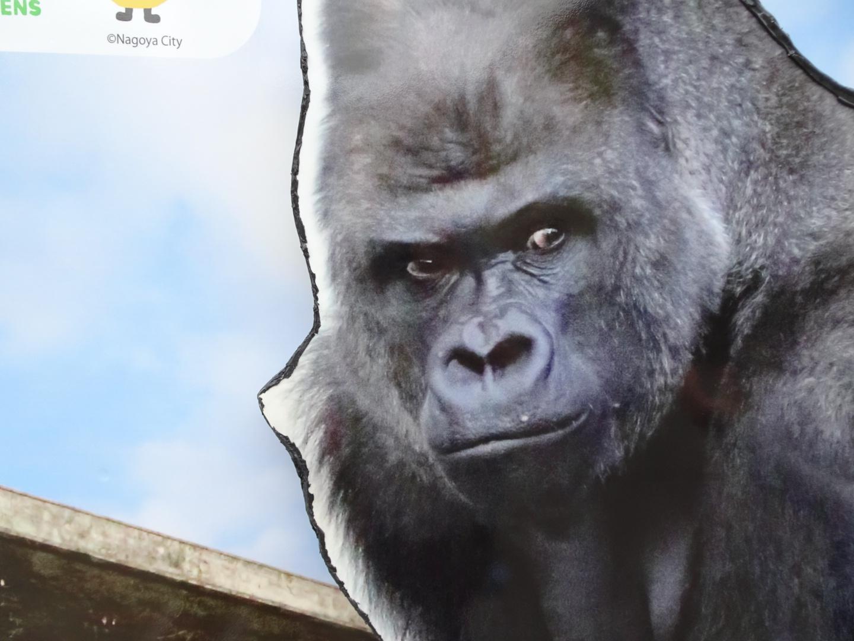 イケメンゴリラ「シャバーニ」 東山動物園