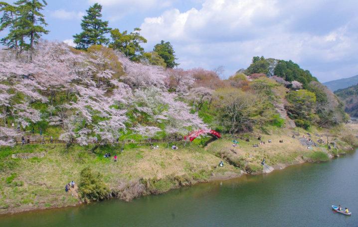 桜淵公園 桜まつり 新城
