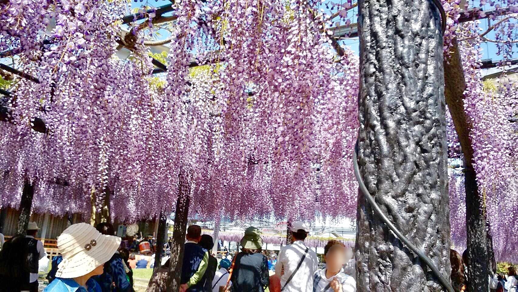 熊野の長藤まつり