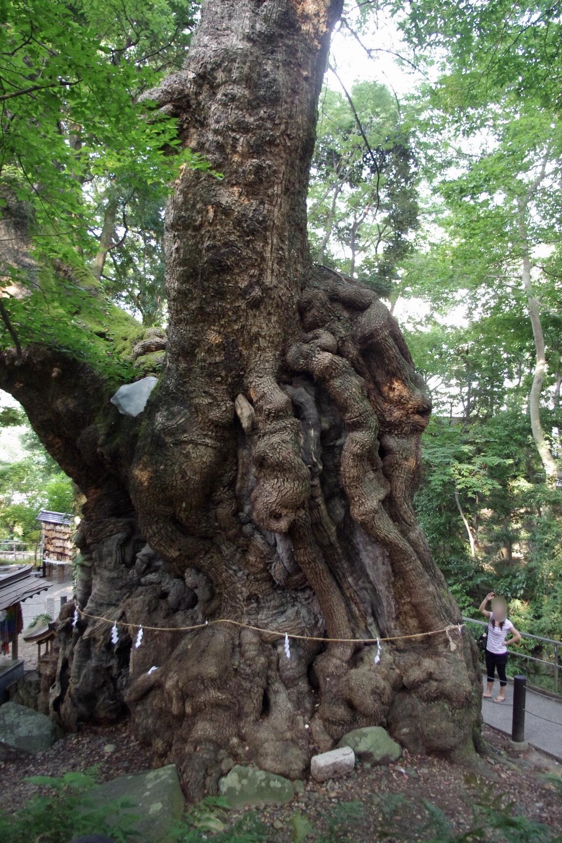 熱海 來宮神社(きのみやじんじゃ) 大楠