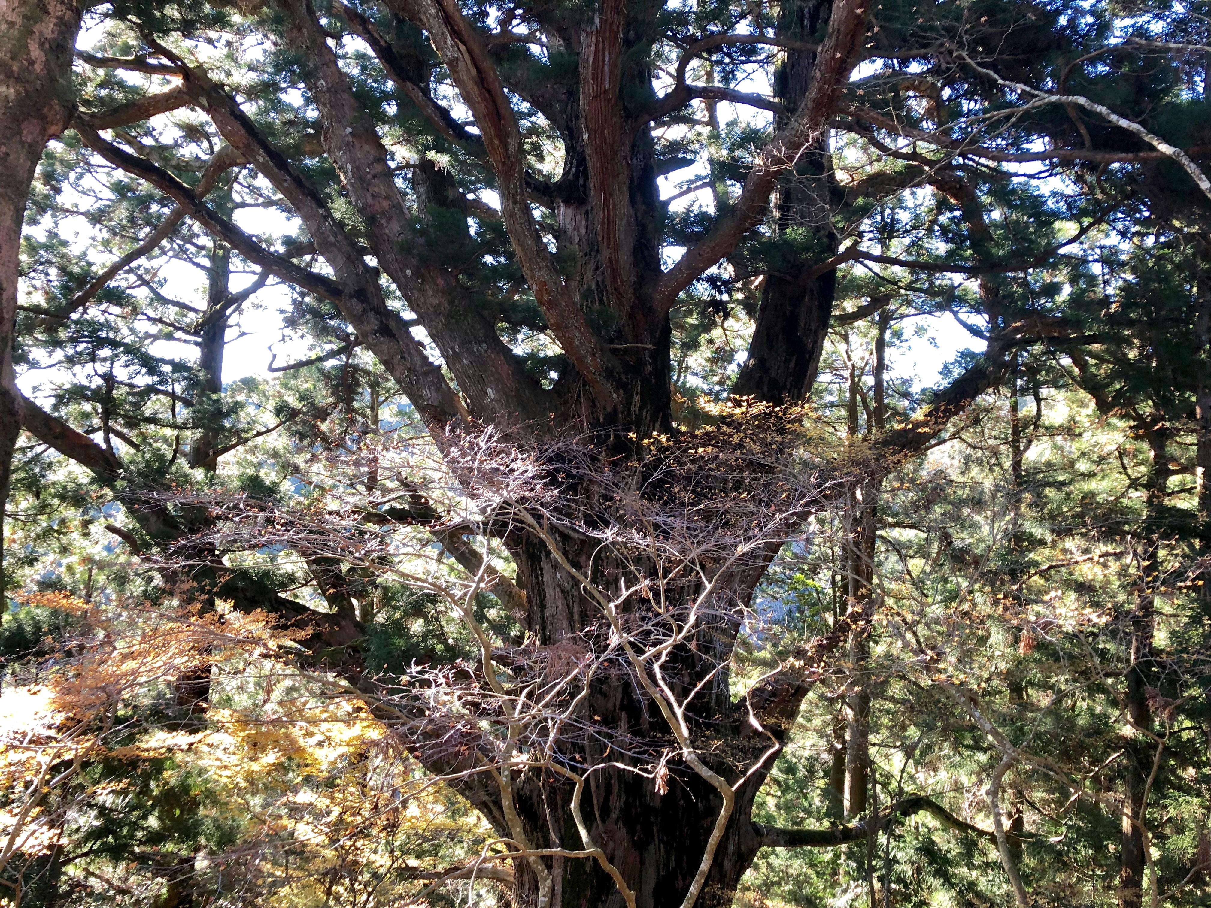 静岡県 春野町 春埜杉 大光寺 巨木