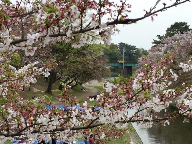 岡崎城 お花見 さくら
