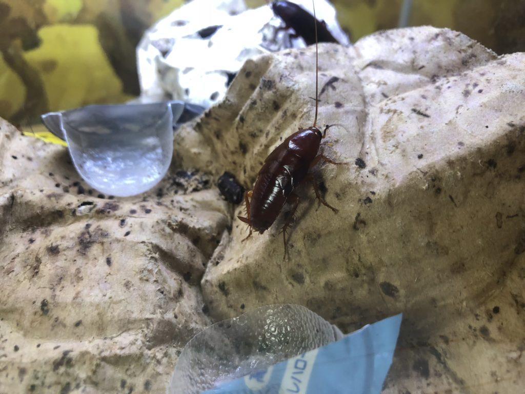 ゴキブリ展 磐田市竜洋昆虫自然観察公園