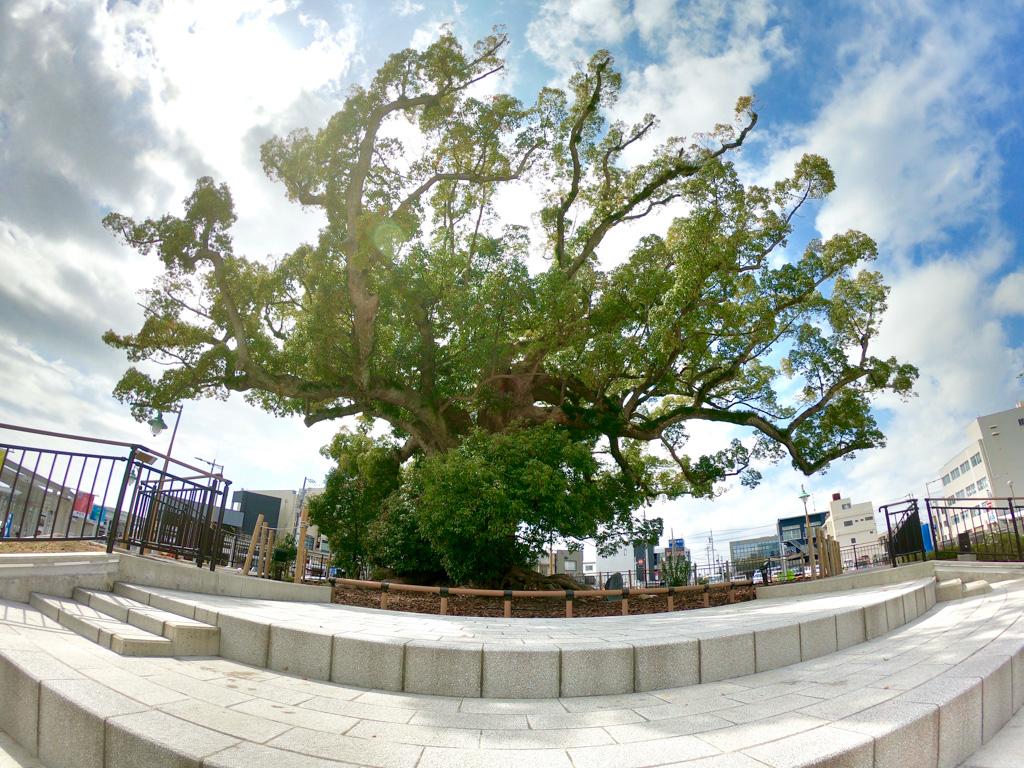 磐田駅の樹齢700年の大楠