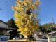 これは見るべき!樹齢600年「渋川大いちょう」は渋くてカッコイイ! ー 浜松市北区引佐町渋川